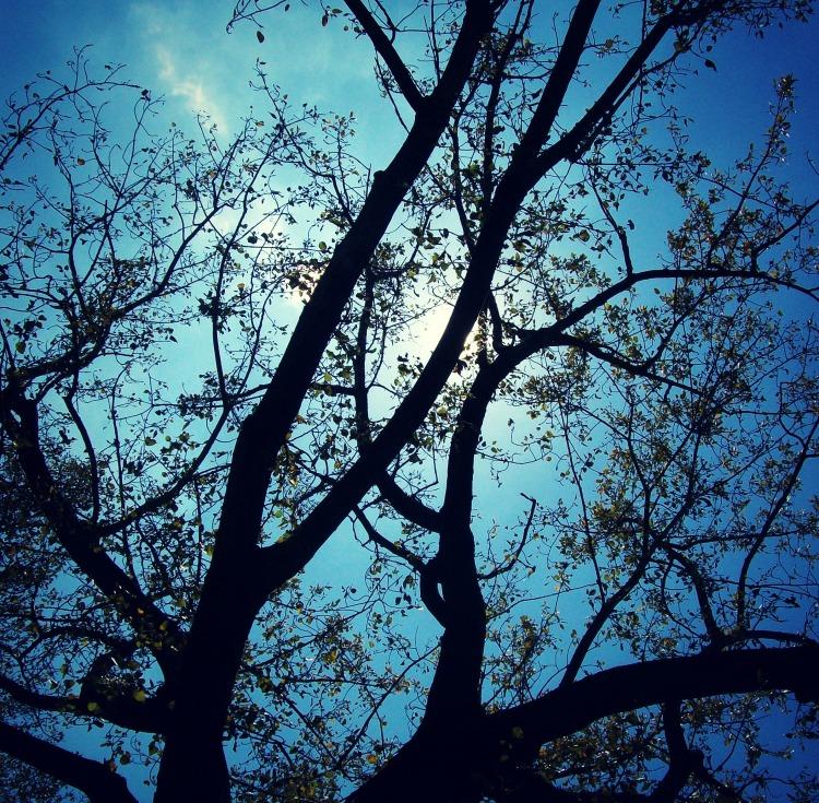 Mature Linden Tree