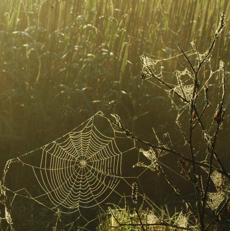 frost webs