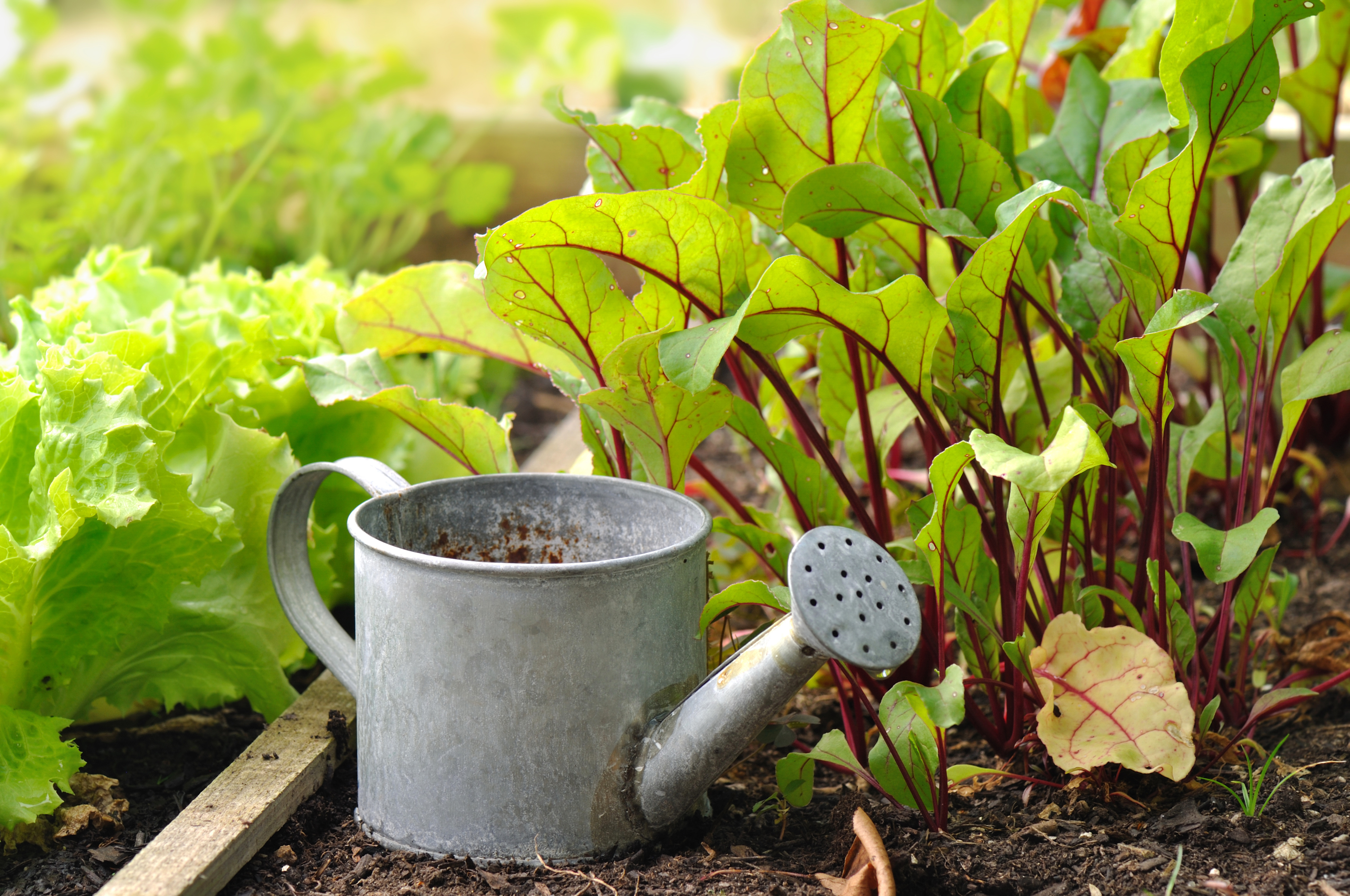 petit arrosoir dans semis de légumes d'un potager